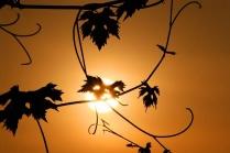 luce-tralci