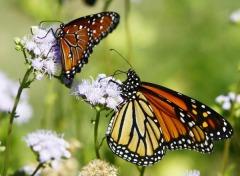 La-farfalla-monarca-e-i-segreti-del-suo-viaggio-1