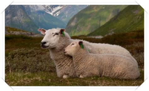 pecore cv