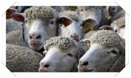 pecore2 cv