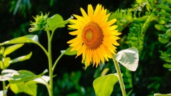 sunflower-290496_960_720