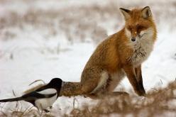 volpi e uccelli
