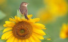 uccellino girasole fiore